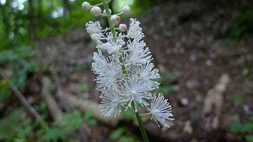The Black Cohosh plant