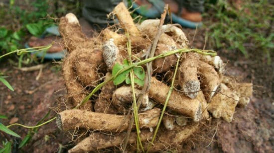 Health Benefits of Wild Yam Root