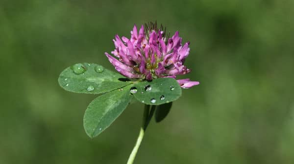 Red Clover Makes Breasts Bigger