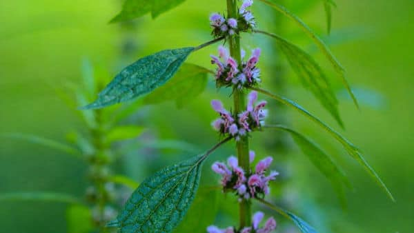 Motherwort Alternative Benefits