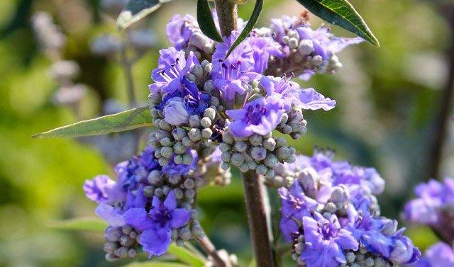 benefits of chasteberry