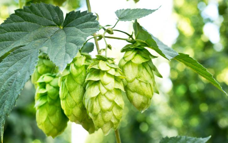 benefits of hops