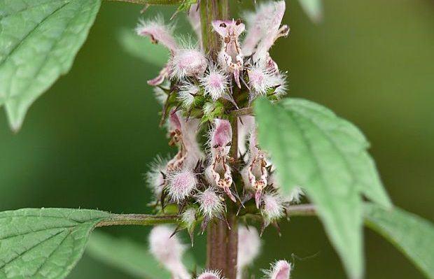 benefits of motherwort